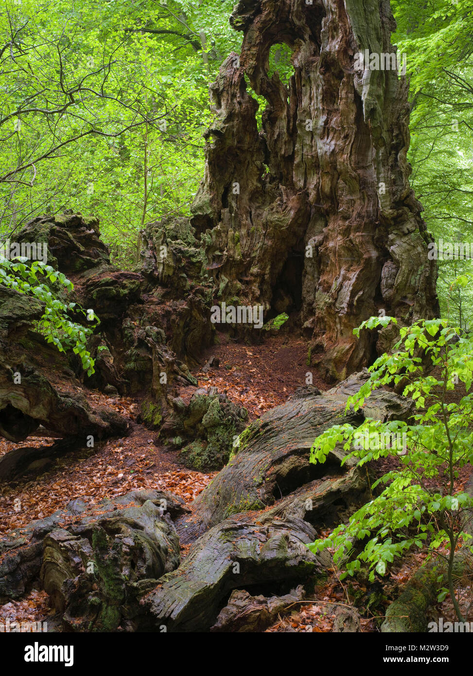 Old trunk of a beech in the Urwald Sababurg, Reinhardswald, Hessia, Germany - Stock Image