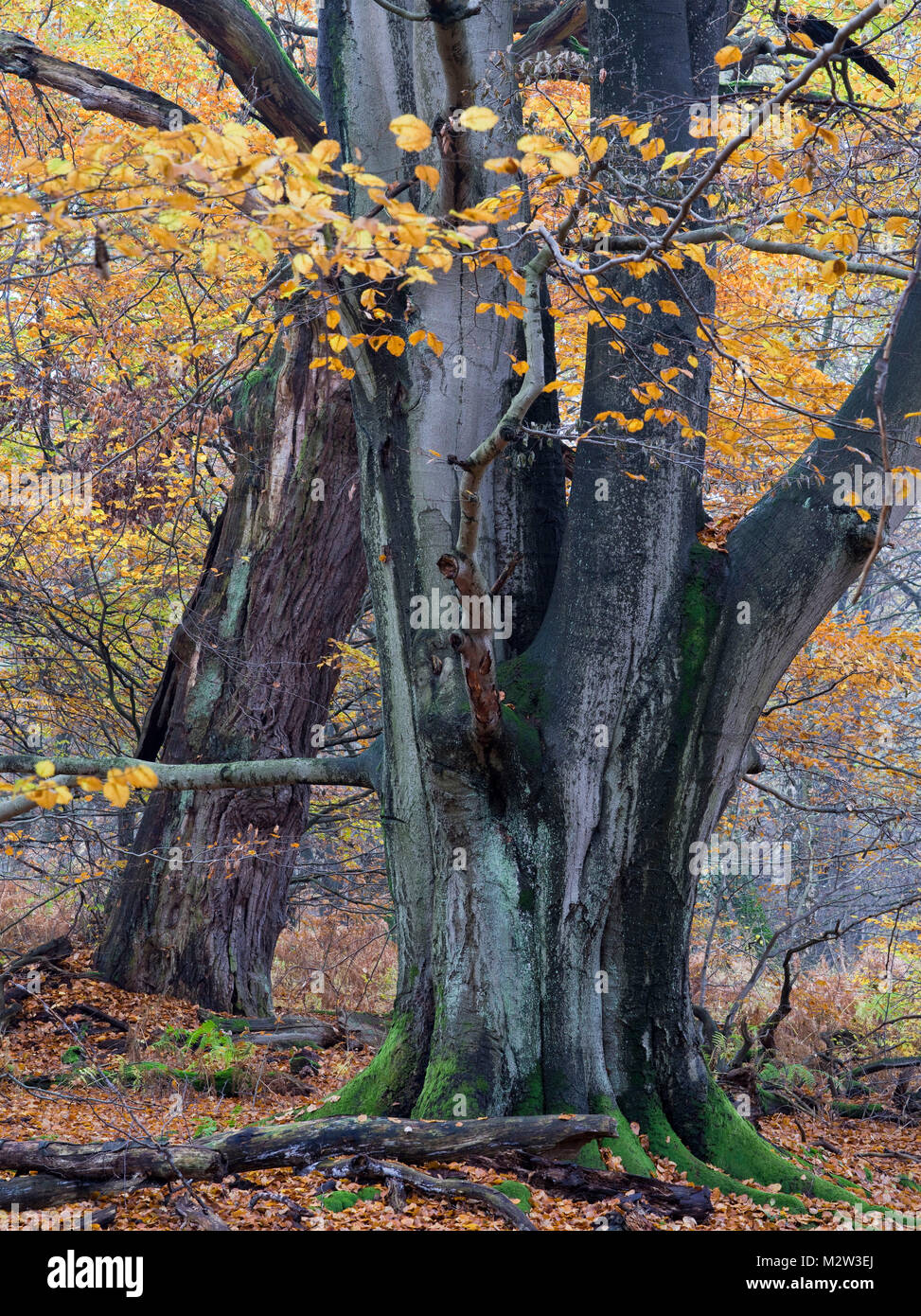 Old beeches in the Urwald Sababurg, Reinhardswald, Hessia, Germany - Stock Image