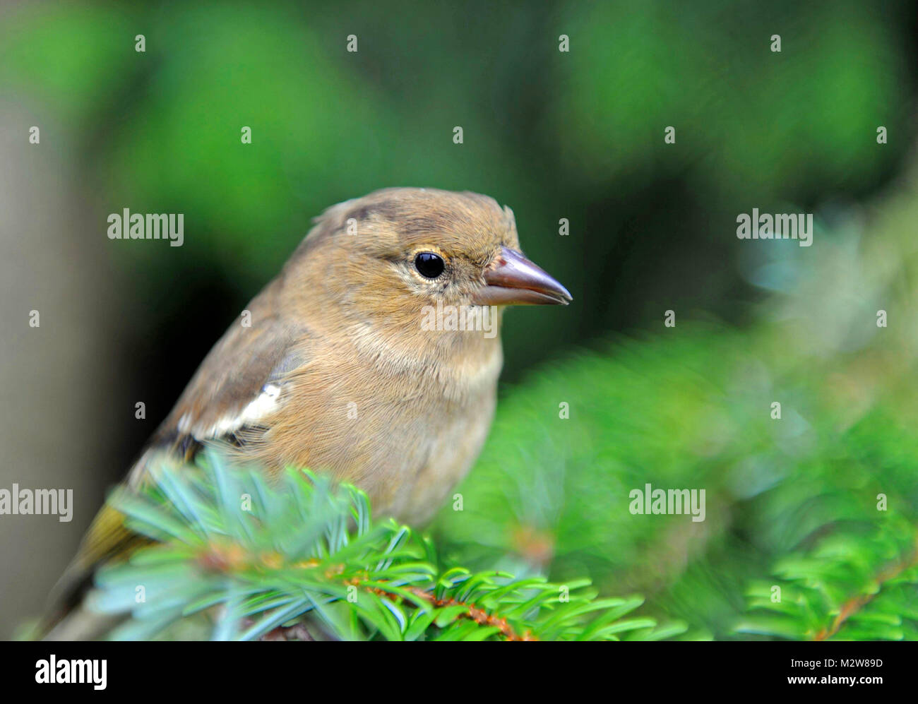 Greenfinch or Eurasian greenfinch, Carduelis chloris, on search for food in the spruce forest - Stock Image