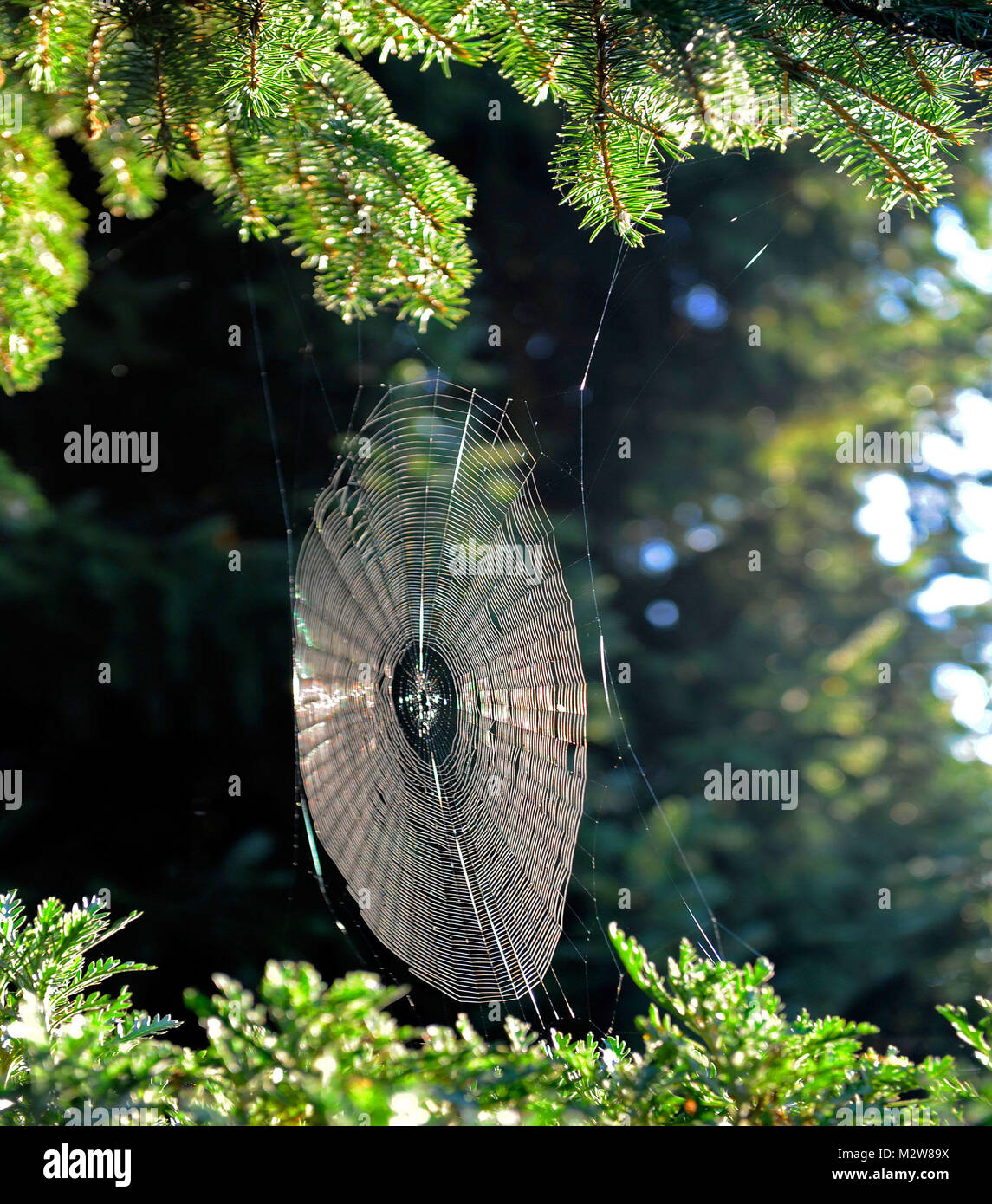 orb web of the cross spider for catching in the Indian summer - Stock Image