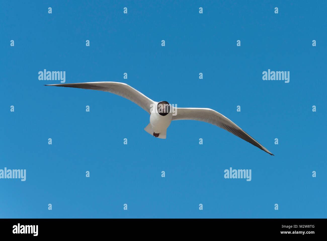 Germany, the North Sea, black-headed gull in the nuptial plumage, black-headed gull (Chroicocephalus ridibundus, - Stock Image