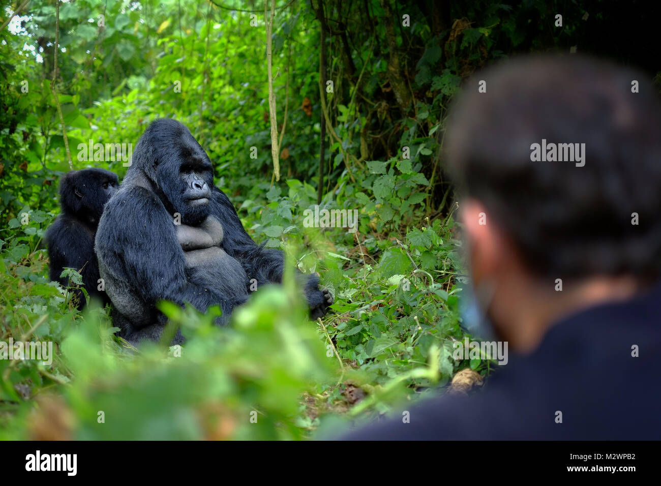 Tourist looking at mountain gorilla in African jungle. Getting very close to wildlife. - Stock Image