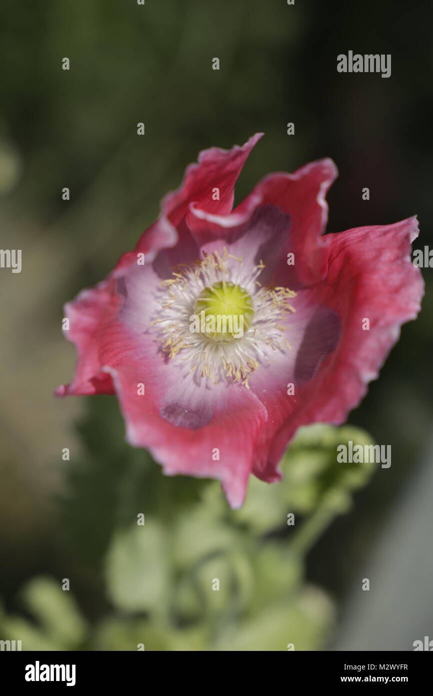 Pink poppy flower in macro photography stock photo 173903403 alamy pink poppy flower in macro photography mightylinksfo