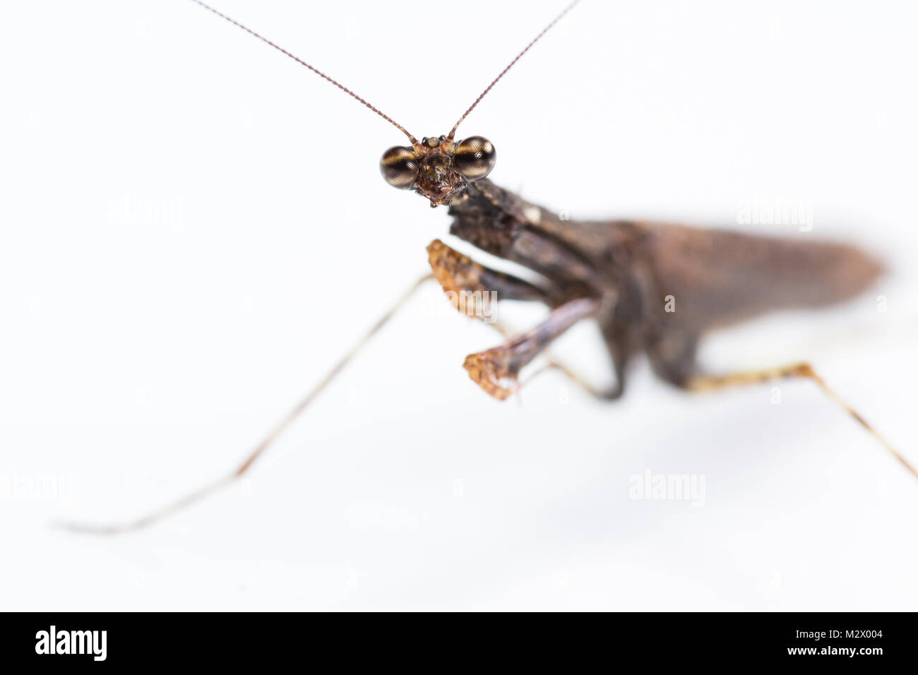 close up of a praying mantis of only 2 inches long and brown color isolated on a white background - Stock Image