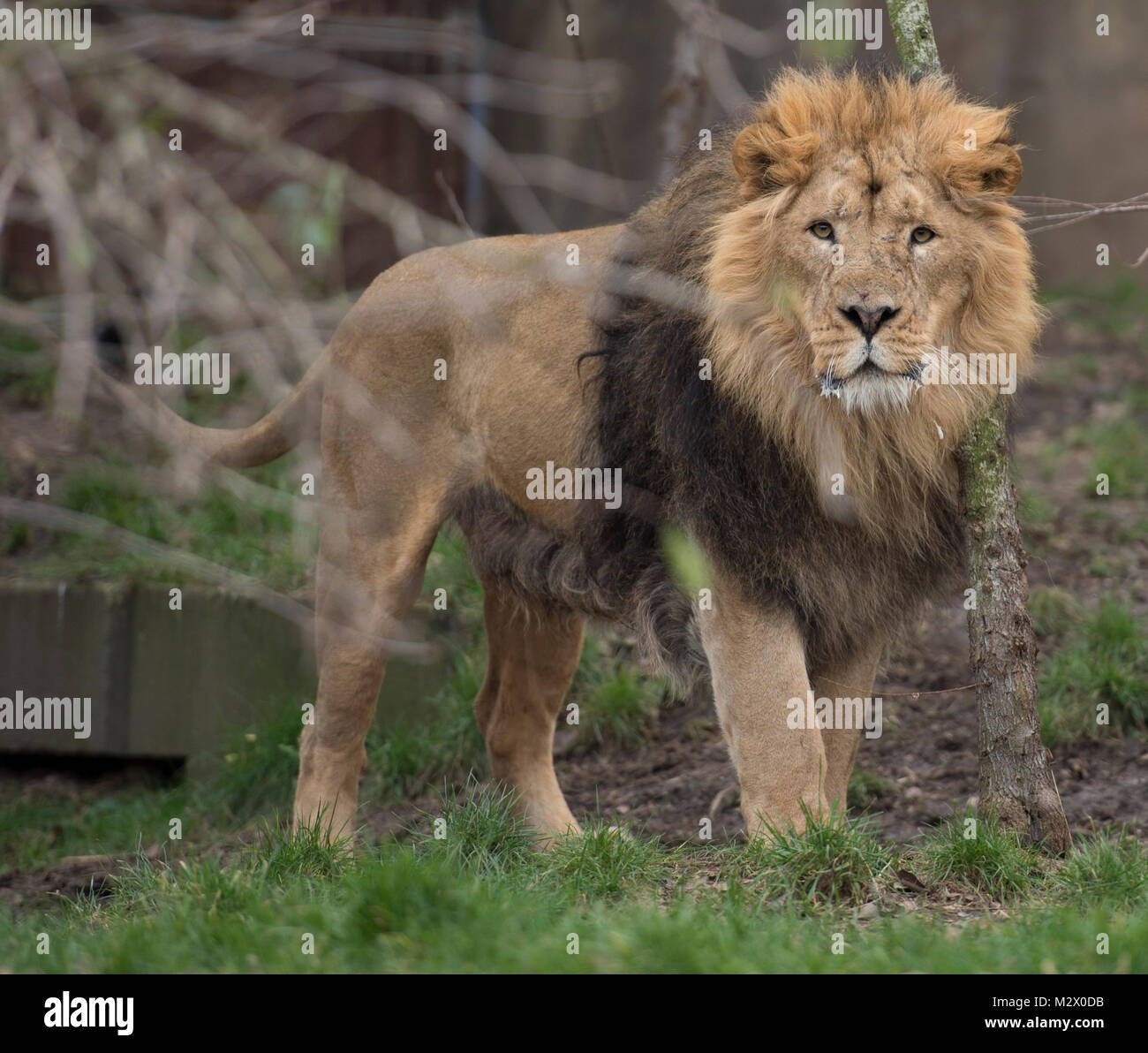 ZSL London Zoo, Regent's Park, London. 7 Feb 2018. The Asiatic Lions are counted at the Zoo's annual stocktake. - Stock Image