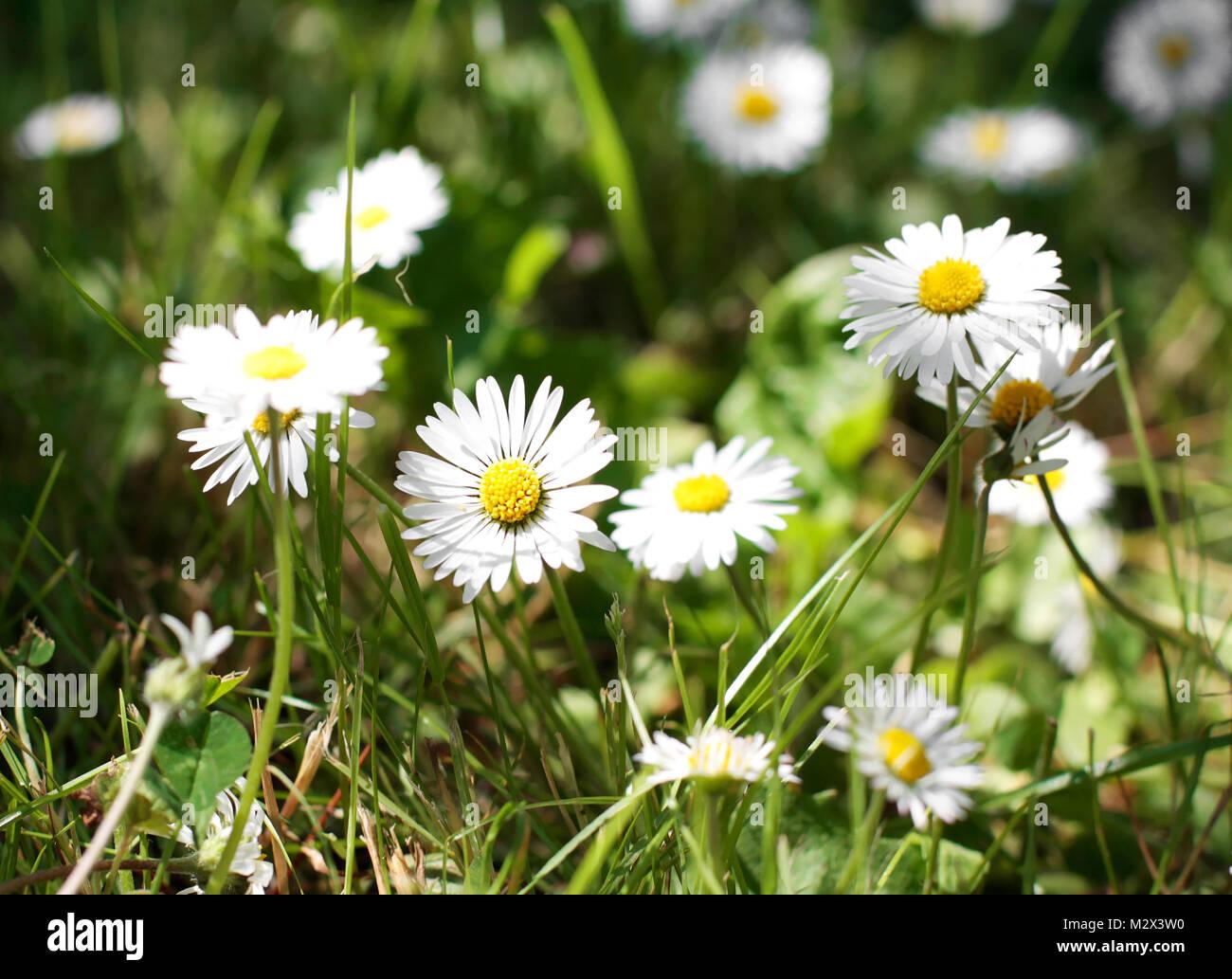 Field of daisy flowers in spring in an unkempt garden stock photo field of daisy flowers in spring in an unkempt garden izmirmasajfo