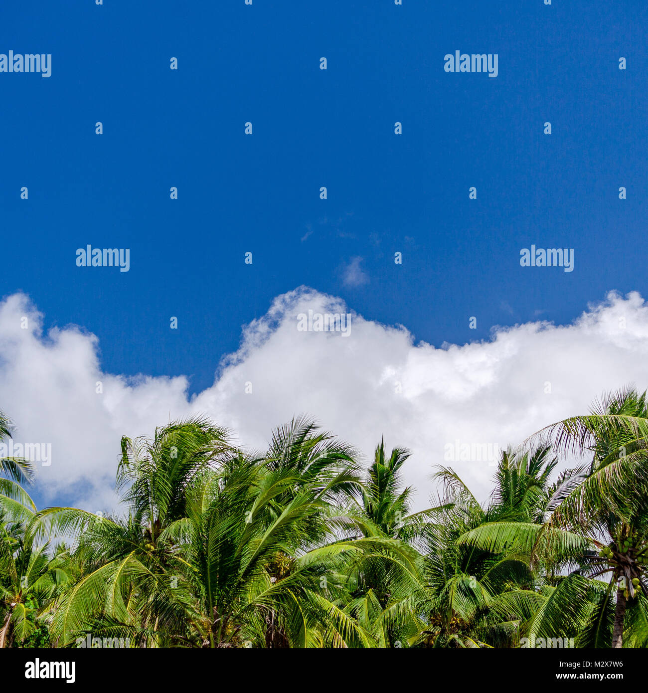 Coconut palm trees over blue sky background with copyspace Stock Photo