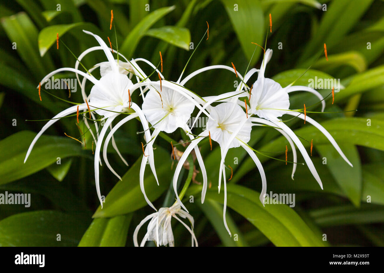 cape lily stock photos cape lily stock images alamy