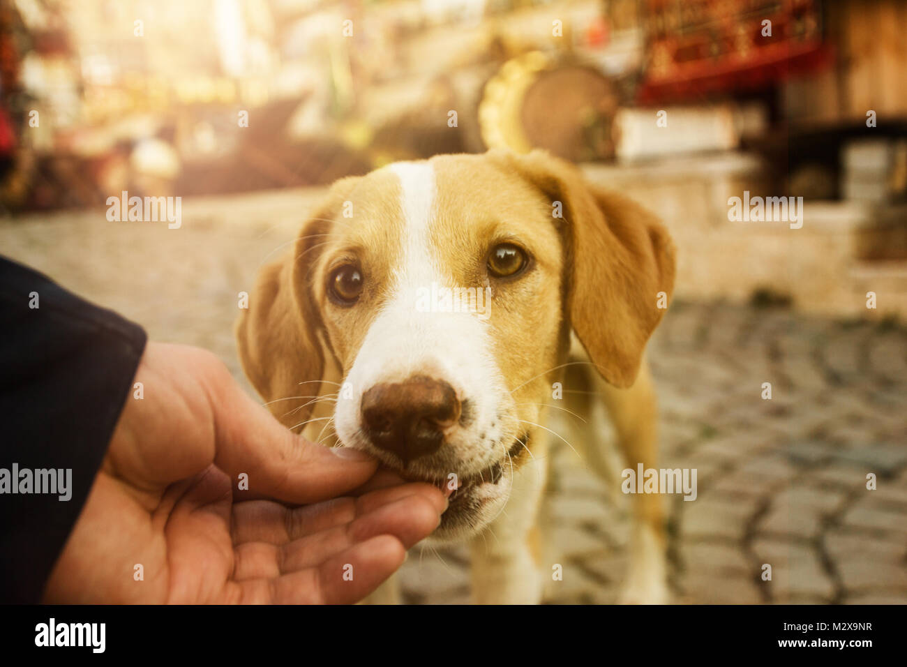 hand feed the dog in the evening sunlight - Stock Image