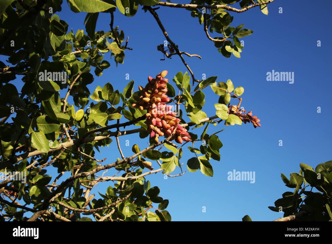 Male /& Female 2 Antep Pistachio tree