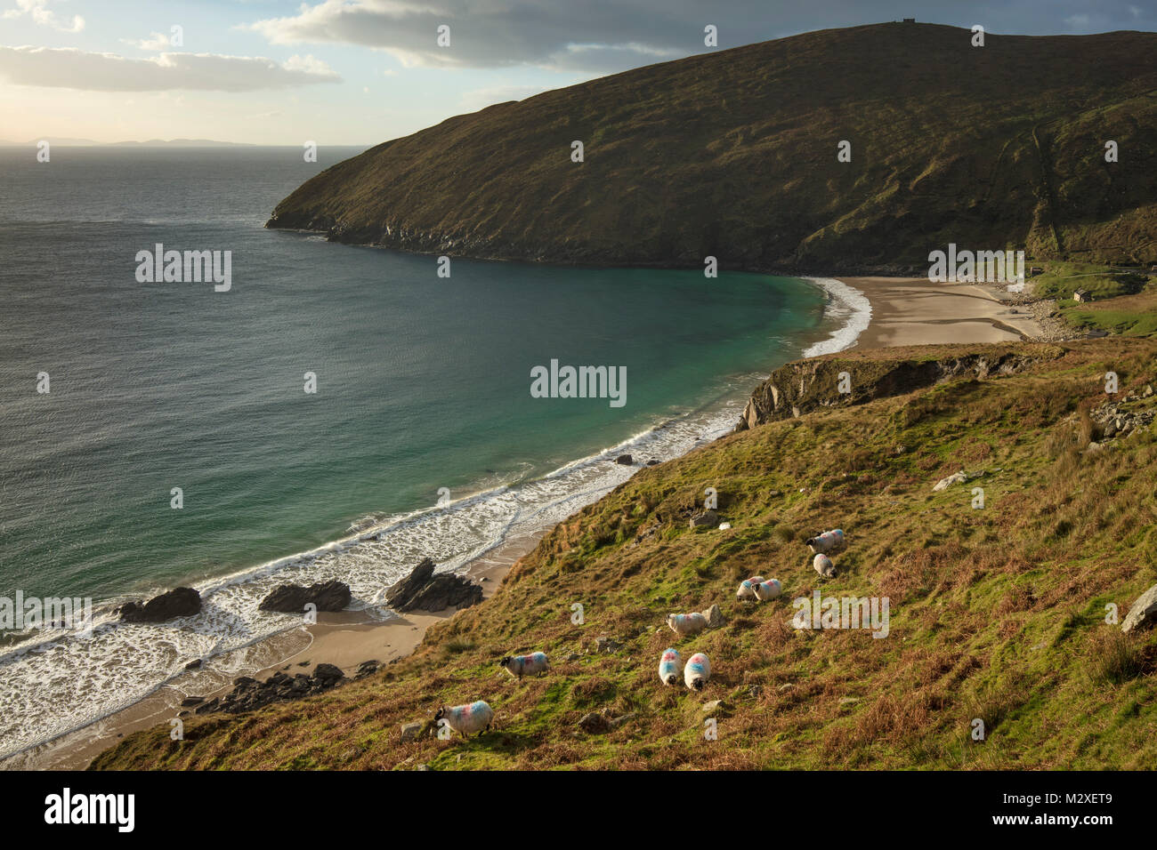 Flock of sheep grazing above Keem Bay, Achill Island, County Mayo, Ireland. - Stock Image