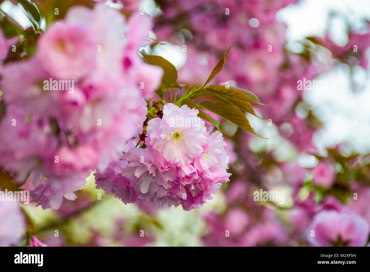 Delicate Pink Flowers Blossomed Japanese Cherry Trees On Blury Stock