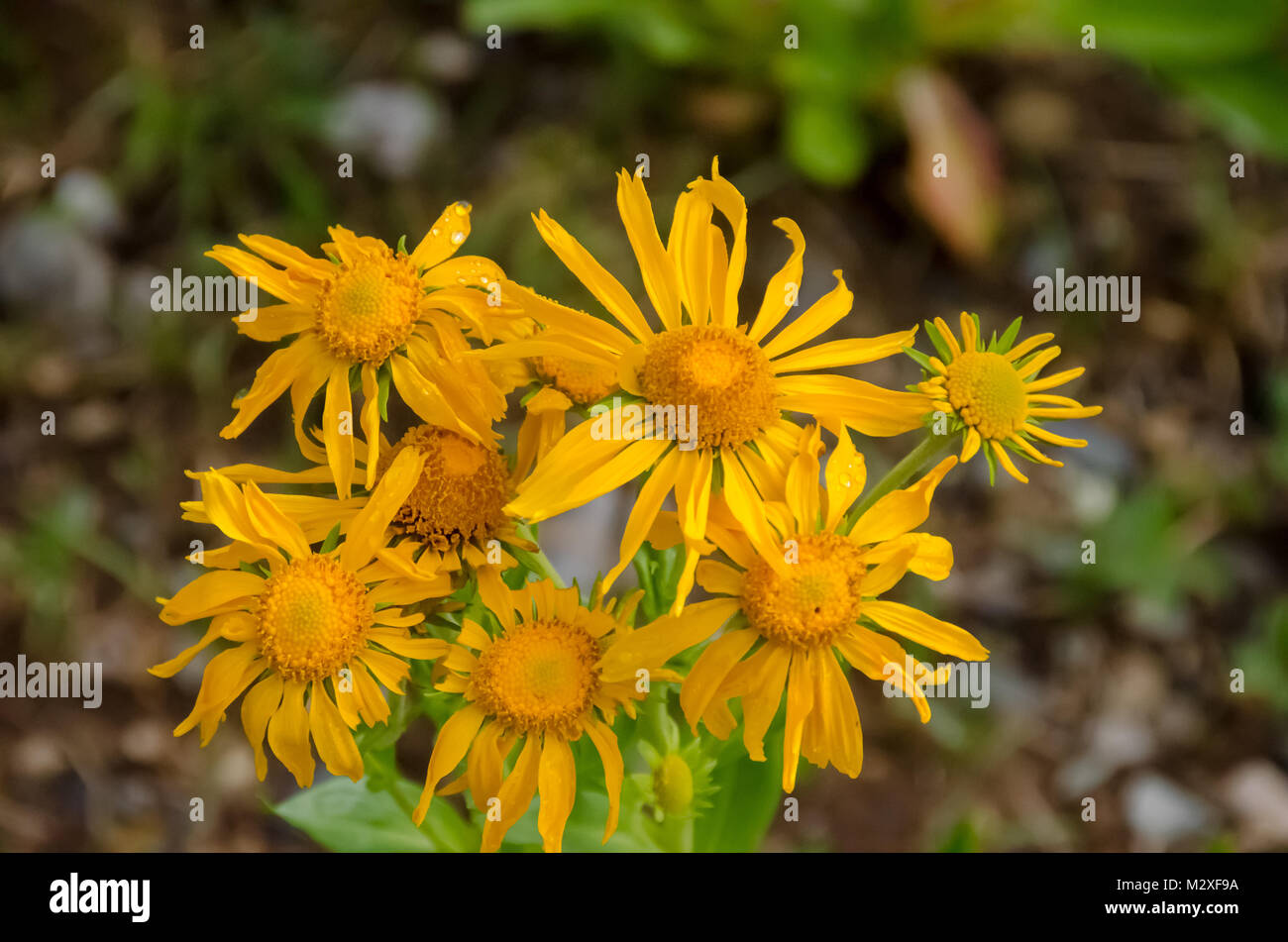Wildflowers mark summer in the mountains - Stock Image