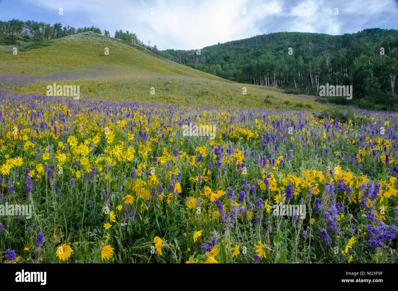 Wildflowers bloom in Crested Butte - Wildflower capital of Colorado - Stock Image