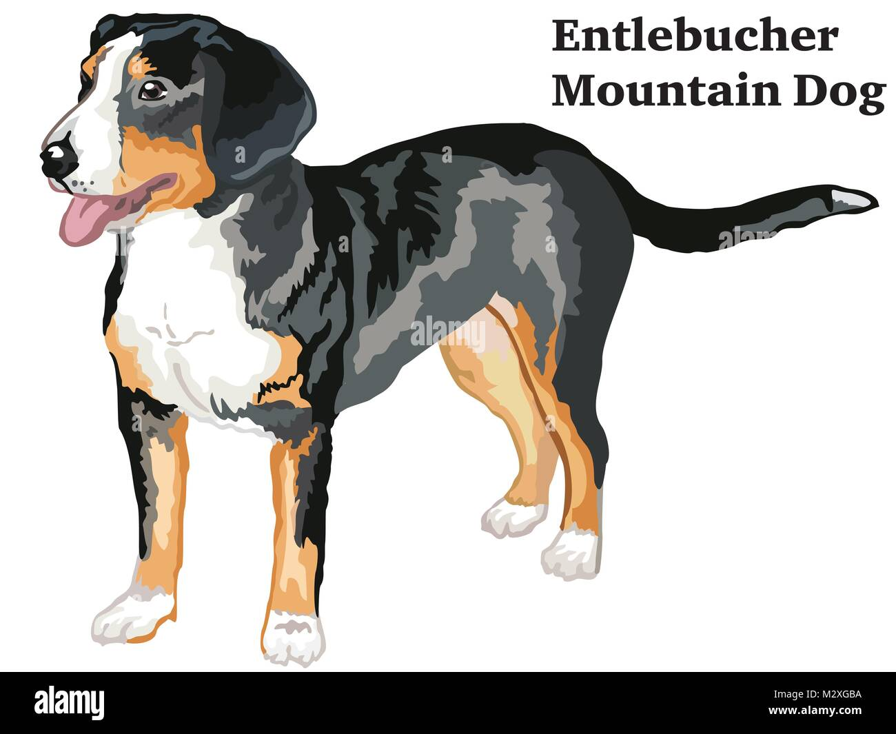 Portrait of standing in profile Entlebucher Mountain Dog, vector colorful illustration isolated on white background Stock Vector
