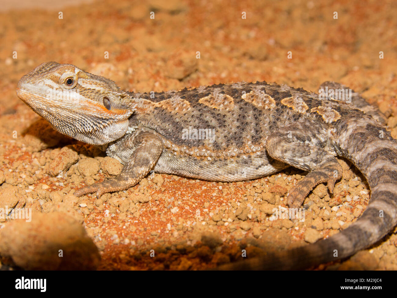 Male Bearded Dragon Pogona species on an orange sand substrate nice looking male of this popular reptile pet. - Stock Image