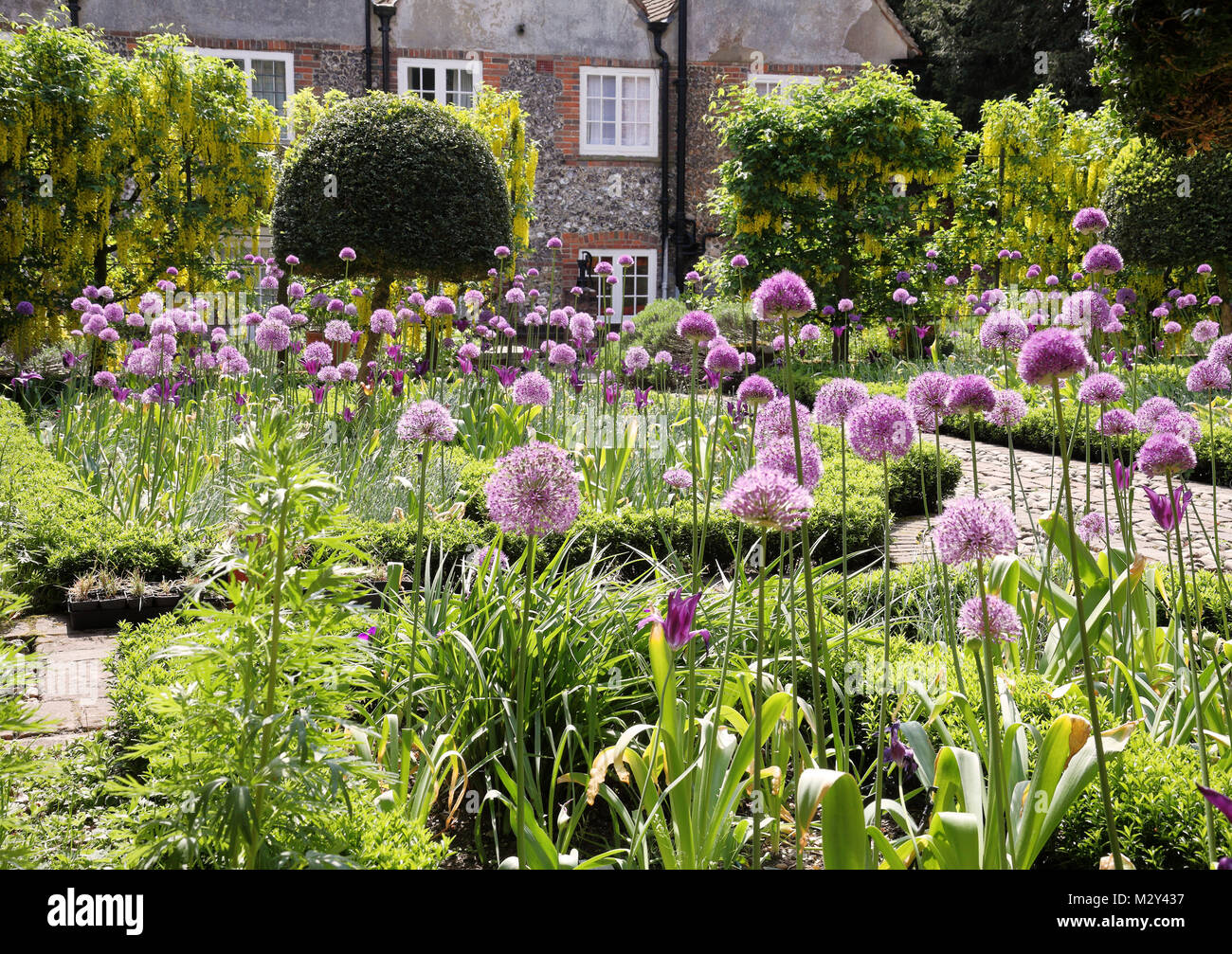 Flowerbeds filled with purple Allium flowers in an English walled garden - Stock Image