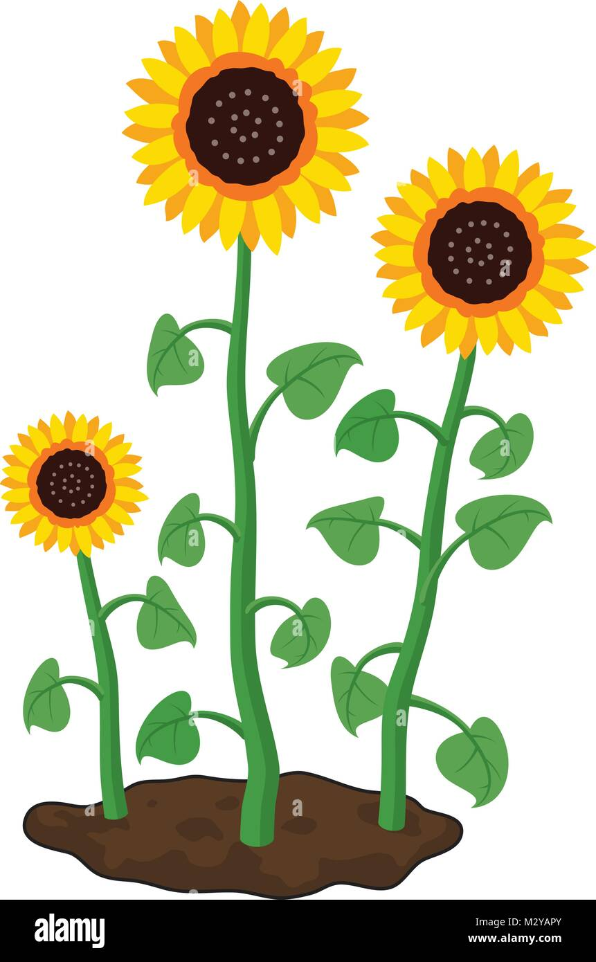 vector cartoon of garden sunflowers grow in soil. summer agriculture illustration. three sunflowers isolated on - Stock Vector