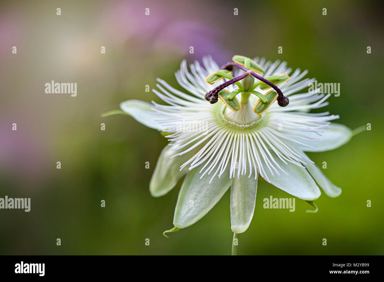 Close Up Image Of The Summer Flowering Passion Flower Constance