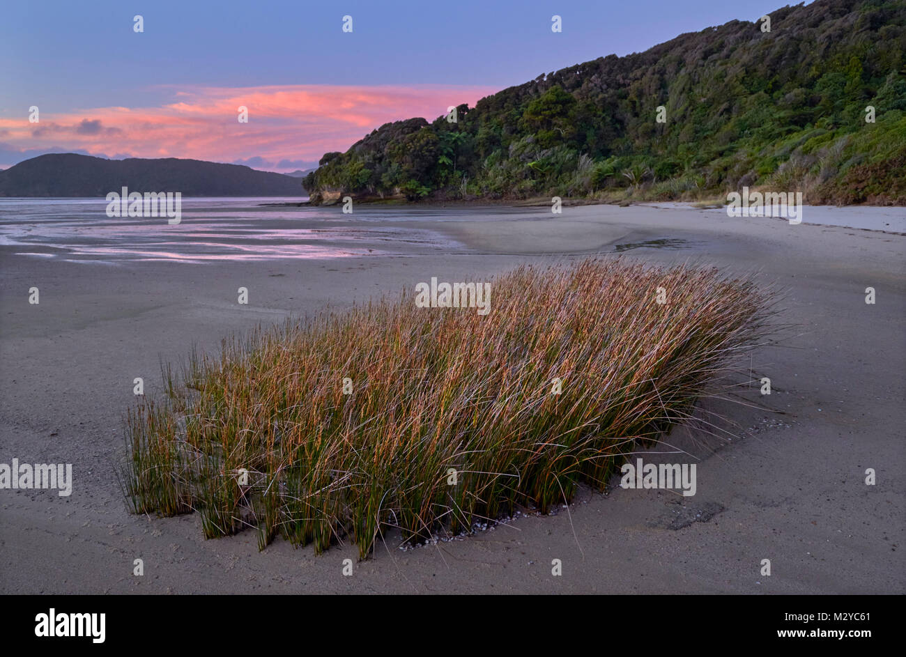 Clump of seagrass at low tide on Golden Bay. Puponga, Nelson Tasman, New Zealand. - Stock Image