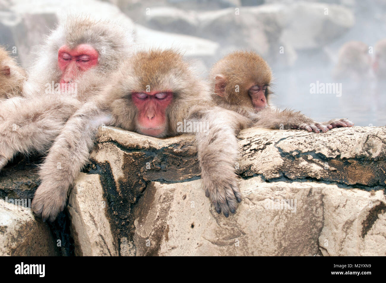 Japanese macaque or snow japanese monkey (Macaca fuscata) family in onsen, Japan Stock Photo