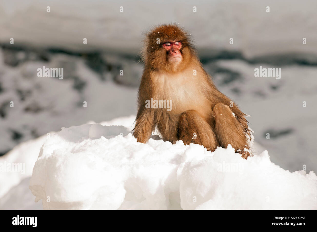 Japanese macaque or snow japanese monkey (Macaca fuscata) sunbath, Japan - Stock Image