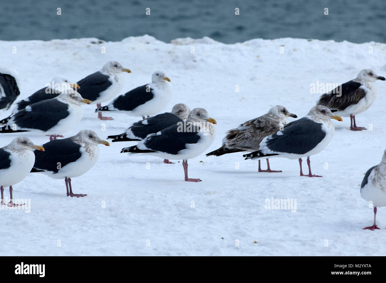 Slaty-backed Gulls (Larus schistisagus) group, Japan  (IUCN red list) - Stock Image