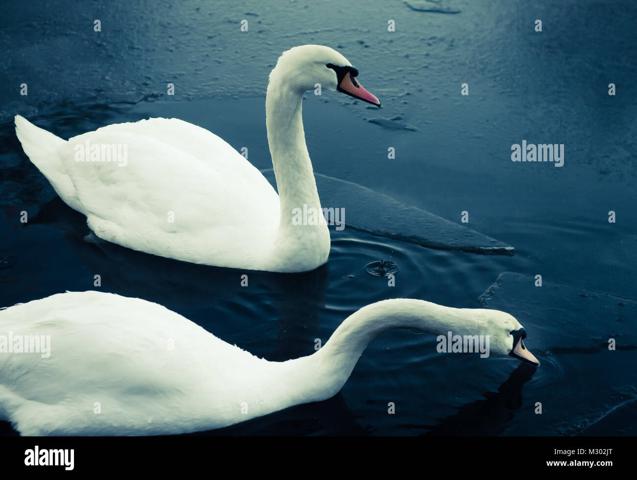 Two Swans Swim Amongst Ice in a Freezing Pond in Scotland in Winter Stock Photo