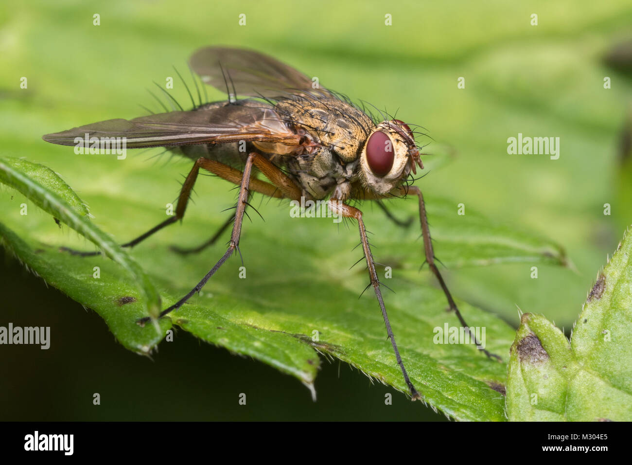 Tachinid fly (Dexiosoma caninum) perched on a leaf. Tipperary, Ireland. Stock Photo
