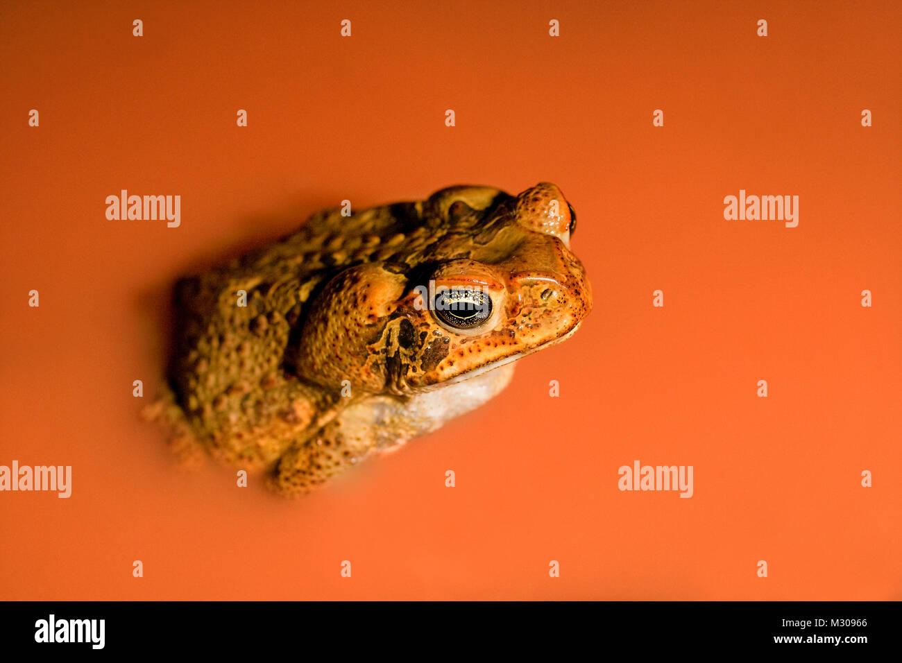 Suriname, Brownsweg, Brownsberg National Park. Cane Toad (Bufo Marinus). In laterite pool. - Stock Image