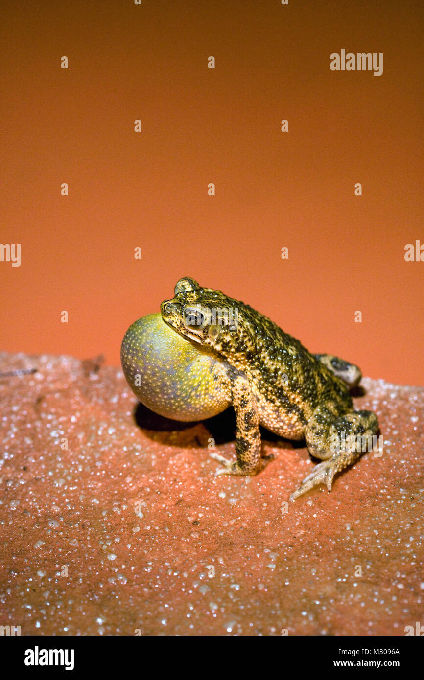 Suriname, Brownsweg, Brownsberg National Park. Toad croaking. - Stock Image