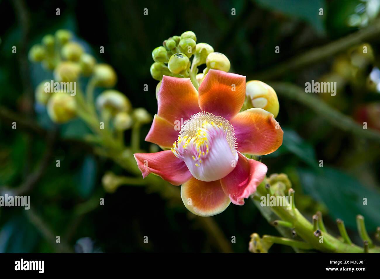Suriname, Kwamalasamutu, Flowers of Cannon Ball tree (Couroupita guianensis). - Stock Image
