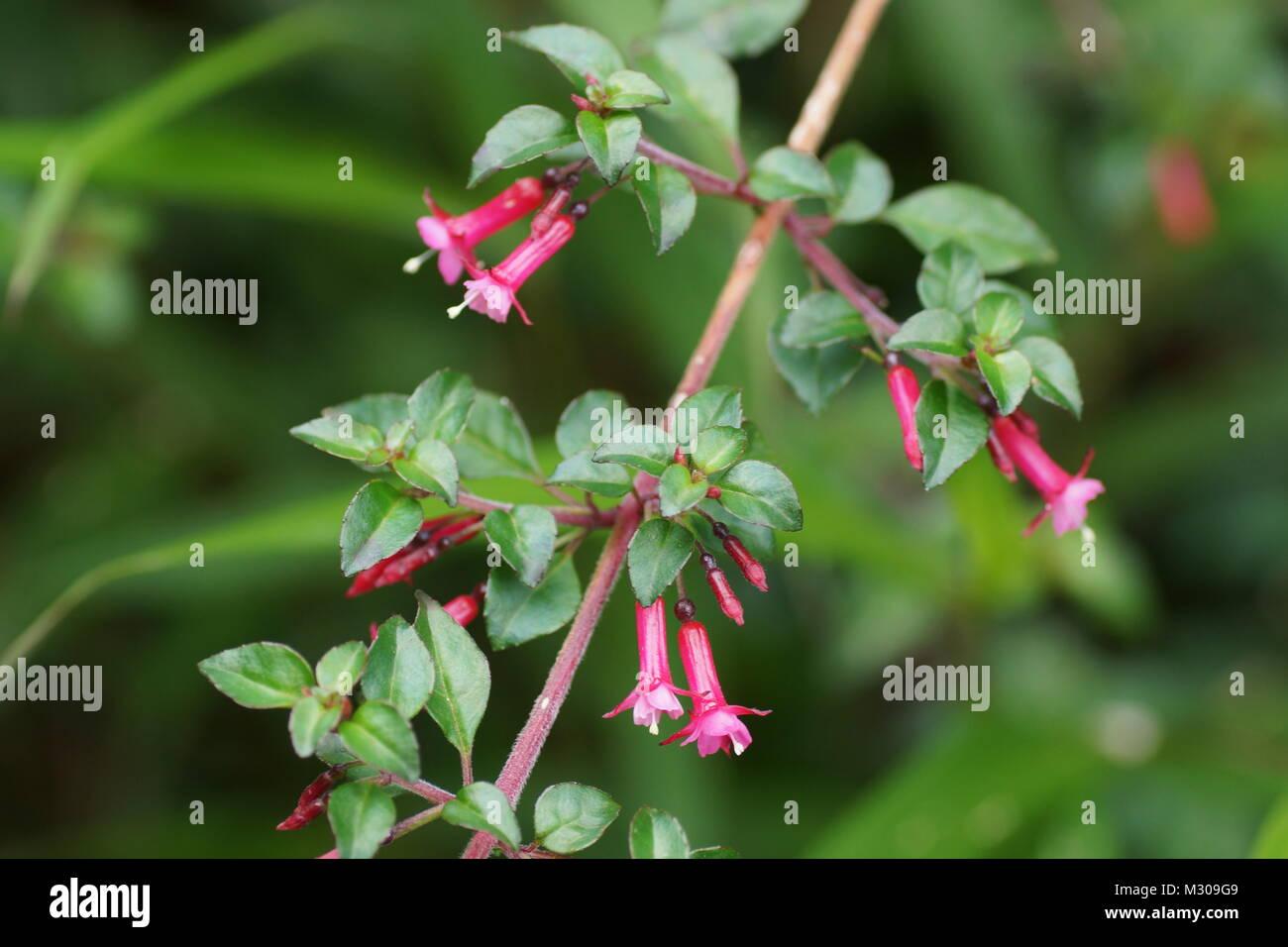 Fuchsia microphylla.  Parque Nacional Volcan Poas. Costa Rica, Alajuela Province, Poas Volcano - Stock Image