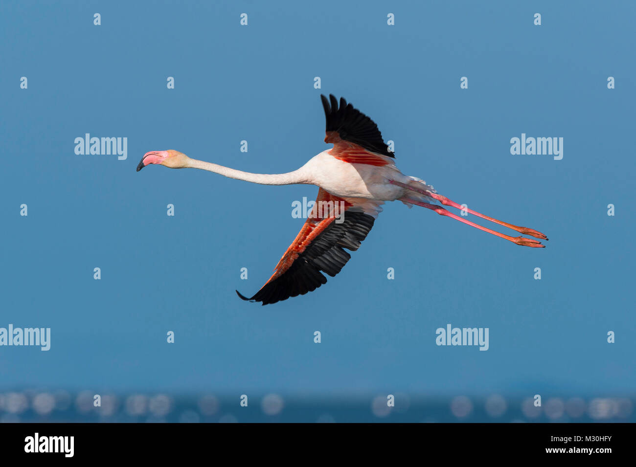 European Flamingo, Great Flamingo, Phoenicopterus roseus, in Flight, Saintes-Maries-de-la-Mer, Parc naturel régional - Stock Image