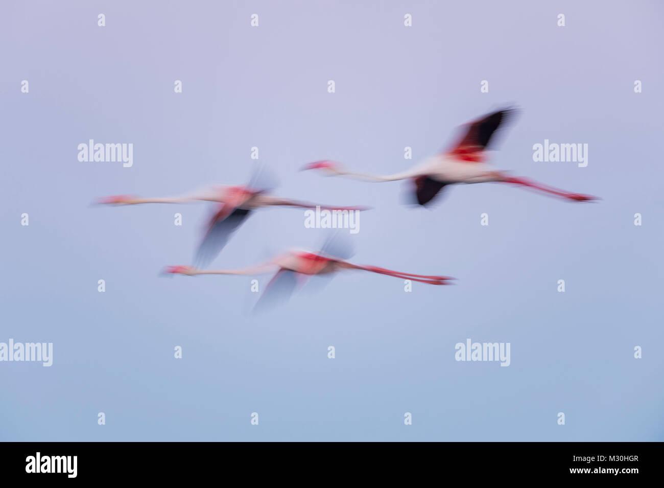 European Flamingo, Great Flamingo, Phoenicopterus roseus, at Dawn in Flight, Long Exposure, Saintes-Maries-de-la - Stock Image