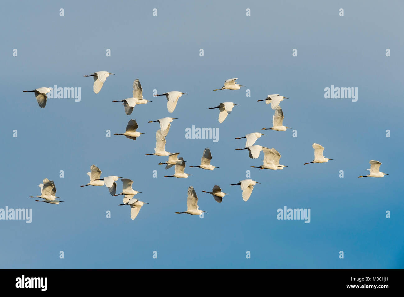 Little Egret, Egretta garzetta, in Flight, Saintes-Maries-de-la-Mer, Parc naturel régional de Camargue, Languedoc Stock Photo