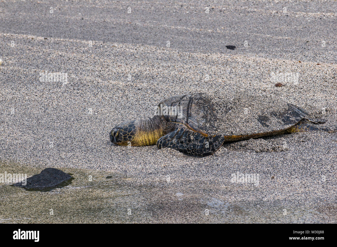 Sea turtle  (Chelonioidea), Puuhonua o Honaunau National Historical Park , Big Island, Hawaii - Stock Image