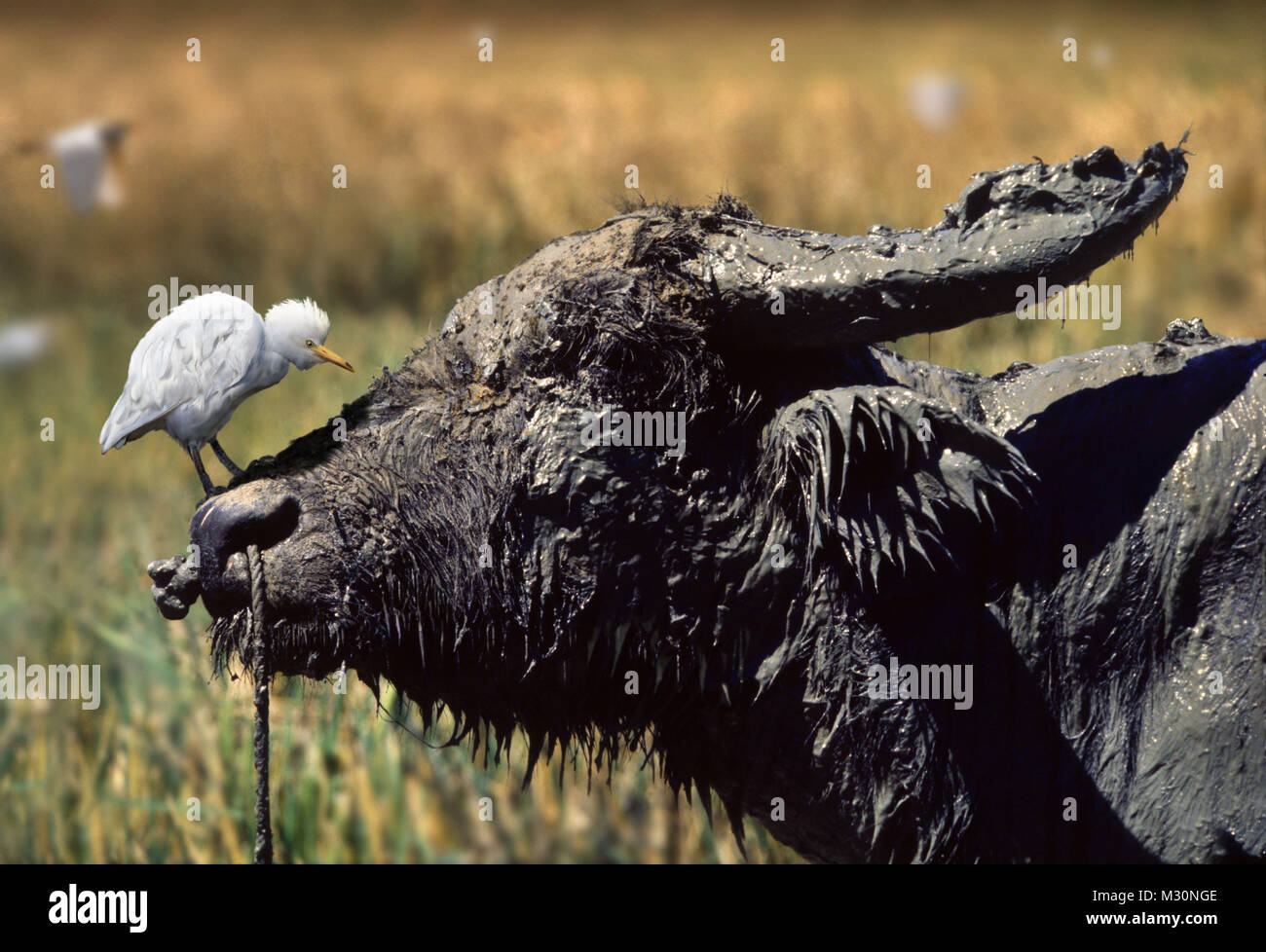 curious cattle egret on the nose of a muddy water buffalo,  Manila, Luzon Island, - Stock Image