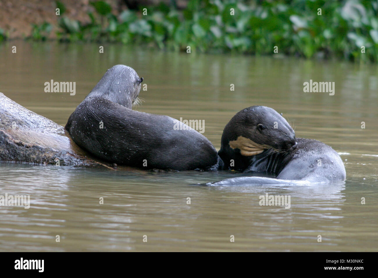 Giant Otters resting in the waters of the Pantanal,  Mato Grosso Do Sul region of Brazil - Stock Image