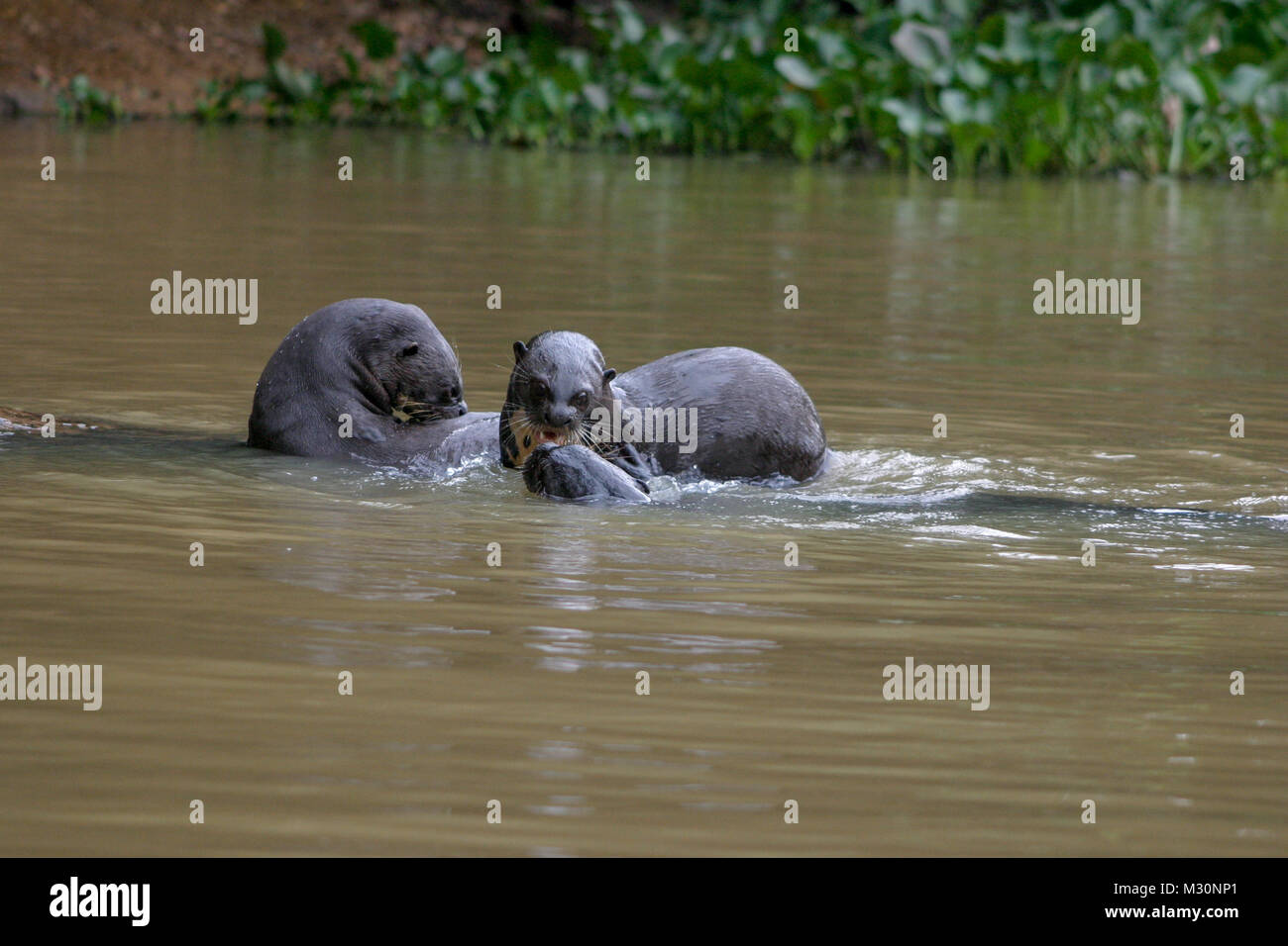 Giant Otters playing in the waters of the Pantanal,  Mato Grosso Do Sul region of Brazil - Stock Image