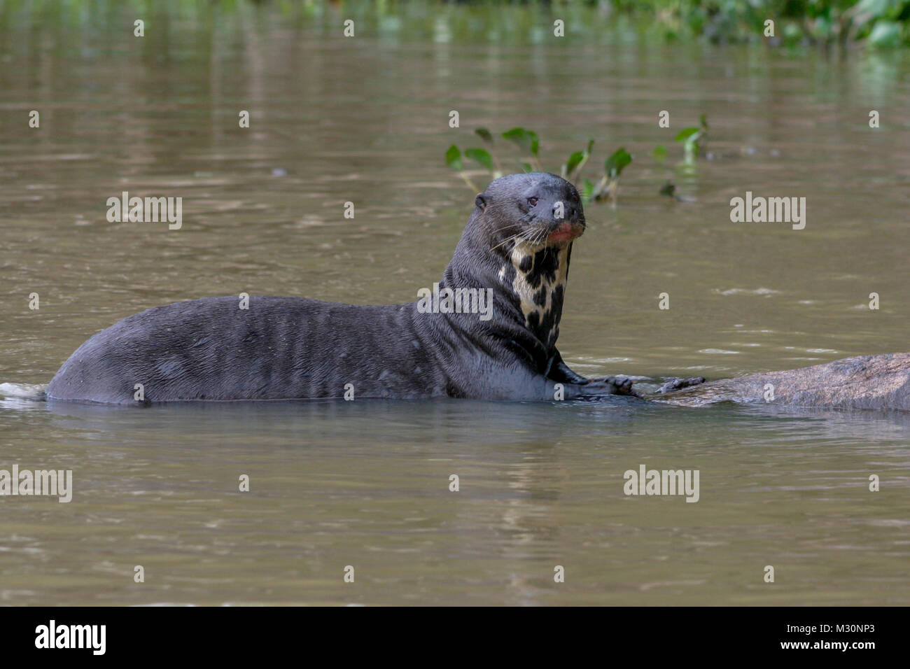 A Giant Otter resting on a tree in the Pantanal, Mato Grosso Do Sul region of Brazil - Stock Image