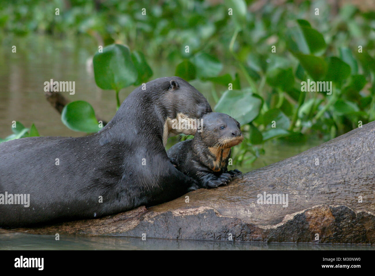 A mother and baby Giant Otter resting on a tree in the Pantanal, Mato Grosso Do Sul region of Brazil - Stock Image