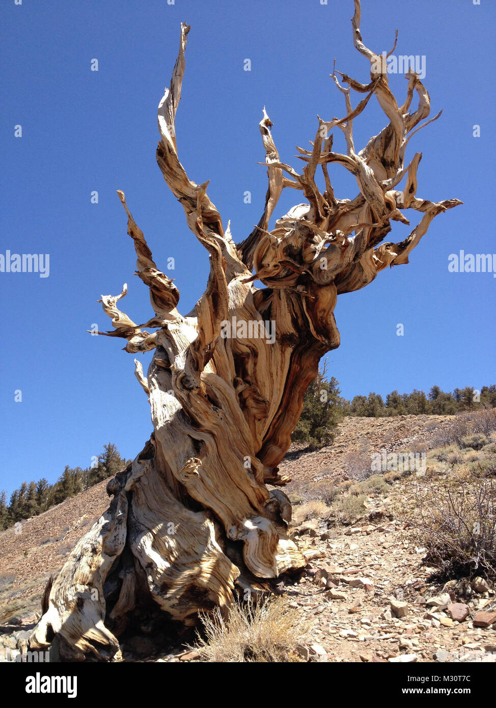 The Ancient Bristlecone Pine Forest is a protected area high in the White Mountains in Inyo County in eastern California - Stock Image