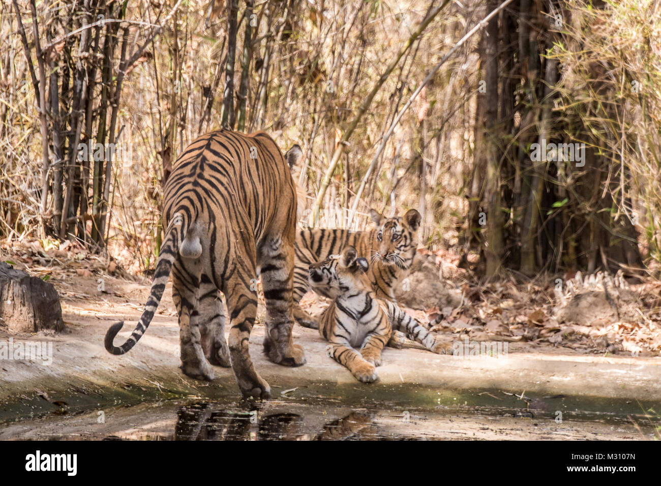 Rear view of male Bengal Tiger, Panthera tigris tigris, with his two cubs showing his scrotum and testicles, Bandhavgarh - Stock Image