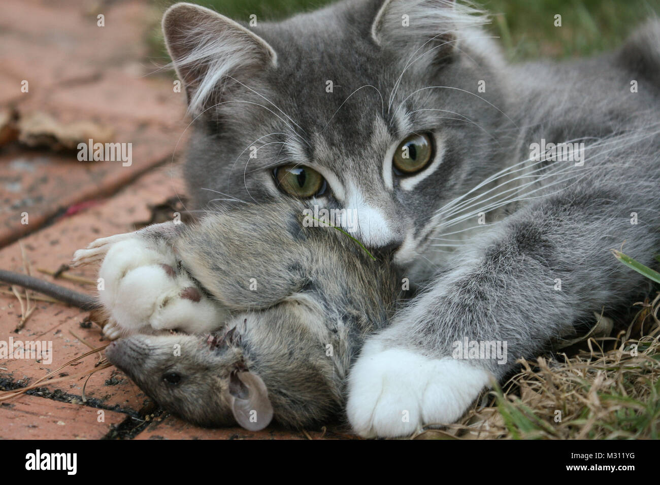 Image sums up perfectly the perceptive paradox we have of cats, on the one hand very cute, on the other, deadly - Stock Image
