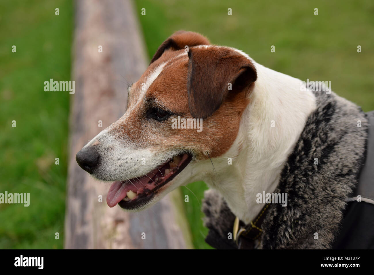 jack russell terrier playing fetch on the field - Stock Image