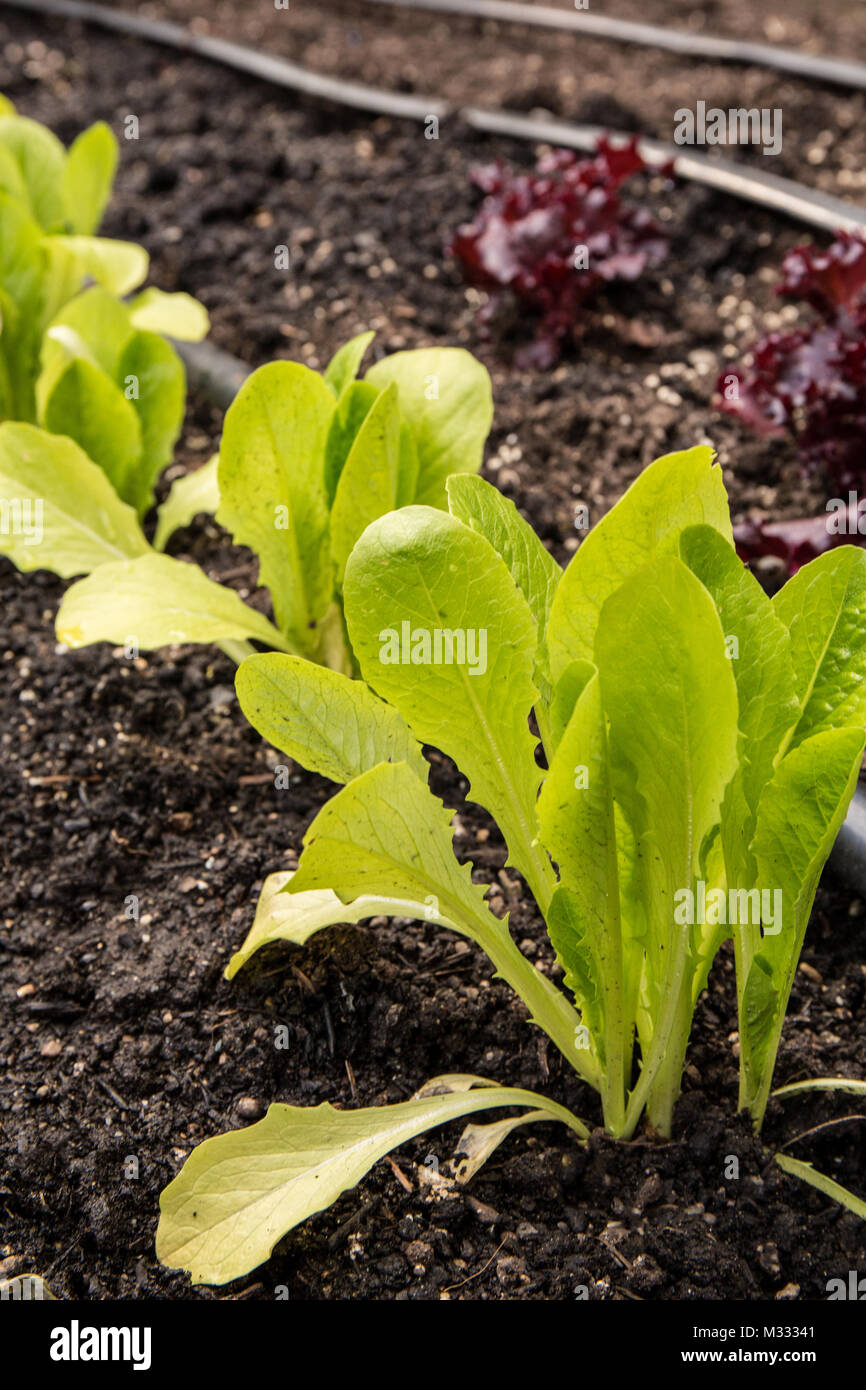 Buttercrunch And Red Leaf Lettuce Growing In A Raised Bed Garden