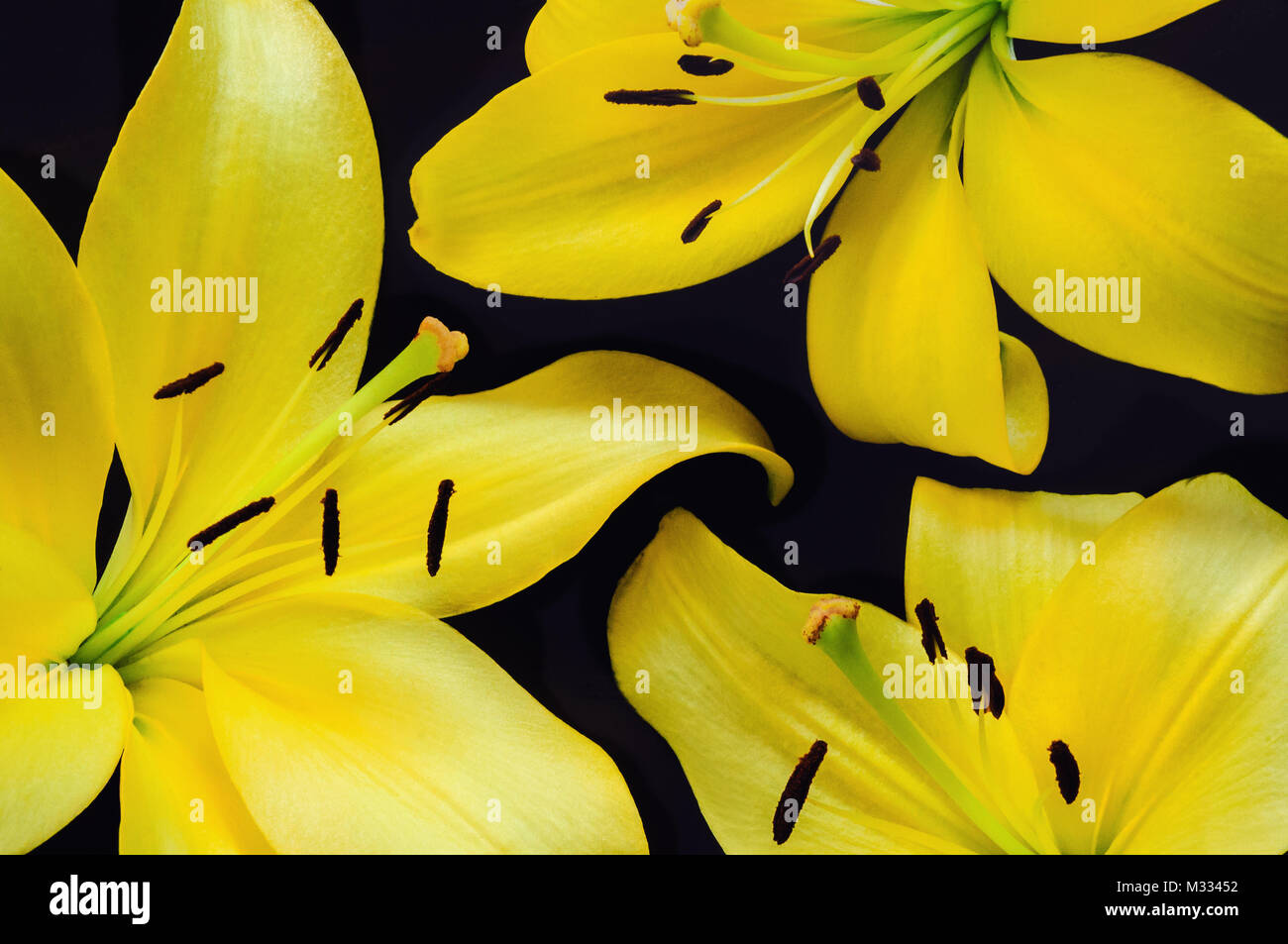 Yellow Lillies Arranged on Dark Background - Stock Image