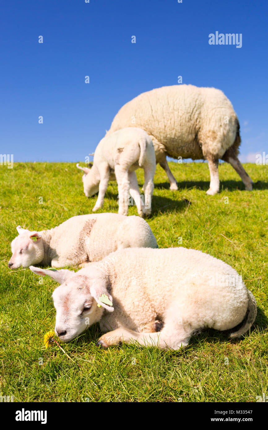 Texel sheep and lambs in the grass on the island of Texel in The Netherlands on a sunny day. - Stock Image