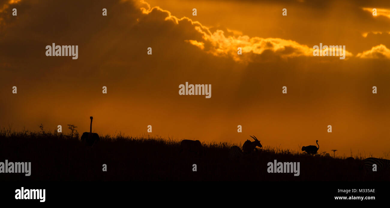 Ostrich and Topi at Sunset in Nairobi National Park - Stock Image